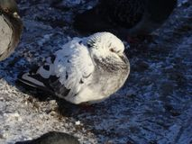 The white fluffy pigeon sits on the ground and is swollen from the winter cold. A white fluffy pigeon bird sits on the ground and is sweltering from the winter royalty free stock photography