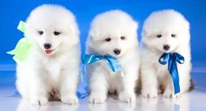 White fluffy puppies of Samoyedskaja dog stock photography