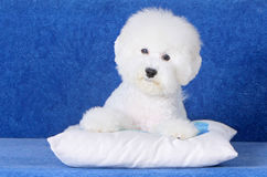 White fluffy puppy on a blue background. Bichon Frise. French lapdog. Beautiful dog lying on the pillow. Portrait close-up animal Stock Image