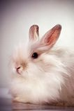 White fluffy rabbit Stock Images
