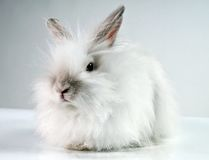 White fluffy rabbit. On a white background Royalty Free Stock Photography