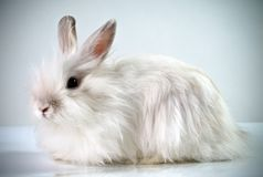 White fluffy rabbit Stock Photos