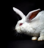 White fluffy rabbit Stock Photography