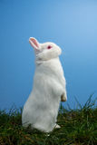White fluffy rabbit standing up on the grass. On blue background Royalty Free Stock Images
