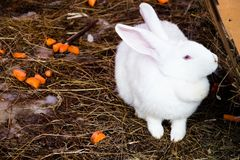 White and fluffy rabbit Royalty Free Stock Images