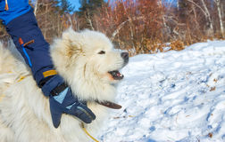 White fluffy Samoyed dog howls. close up portrait Stock Photography