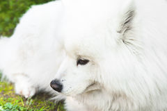 White fluffy Samoyed dog lays on a green grass Stock Image
