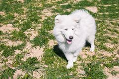 White fluffy Samoyed dog on the street against the background of green grass. Samoyed dog for a walk in the summer royalty free stock photos