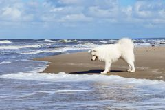 White fluffy Samoyed dog walks along the beach on the background of the stormy sea. stock image