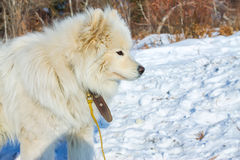 White fluffy Samoyed on a leash. close-up portrait Royalty Free Stock Images