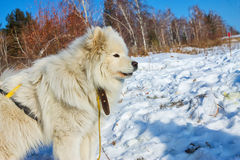 White fluffy Samoyed on a leash. close-up portrait Stock Photography