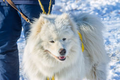 White fluffy Samoyed on a leash. close-up portrait Royalty Free Stock Photo
