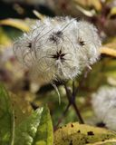 White Fluffy Seedhead Stock Image