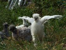 White fluffy silkie chick trying to fly Royalty Free Stock Photo