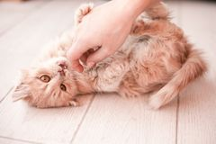 White fluffy small cat playing on the light floor royalty free stock photo