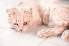 White fluffy small cat playing on the light floor stock photography