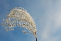 Fluffy spikelet of grass in the wind on a background of blue sky stock photo
