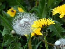 White fluffy spring dandelion close-up Royalty Free Stock Photos