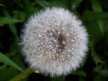 White fluffy spring dandelion close-up Royalty Free Stock Photography