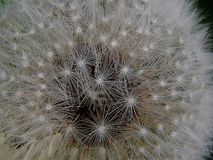 White fluffy spring dandelion close-up Stock Images