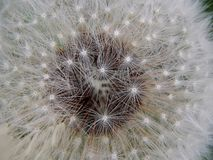 White fluffy spring dandelion close-up Stock Photography