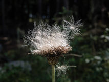 White and flutty thistle seeds. White and fluffy thistle seeds on the forrest background Stock Image