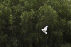 White flying dove royalty free stock photo