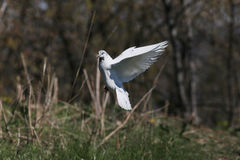White flying pigeon Royalty Free Stock Photography