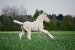 White foal gallops in field. White foal gallops in pasture at summer Royalty Free Stock Photos
