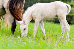 White foal graze near the mother Royalty Free Stock Image