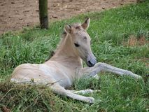 White foal. Southern Bohemia . Czech Republic royalty free stock photo