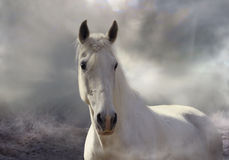 White fog. White horse Orlov trotter breed in white mist Stock Photos