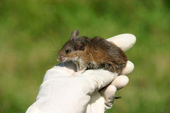 White footed mouse Stock Images