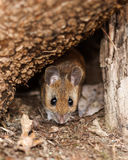 White footed mouse in spring. White footed mouse (woodmouse, Peromyscus leucopus) in the nature, springtime royalty free stock photos