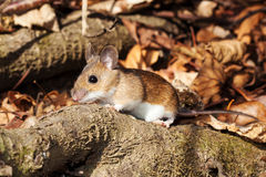 White footed mouse in spring. White footed mouse (woodmouse, Peromyscus leucopus) walking on branch, springtime stock photos