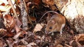 White footed mouse Stock Photos