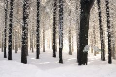 White forest. Forest warmed by the sun Stock Image