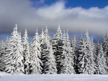 White forest. Beatiful trees covered by snow Royalty Free Stock Photos