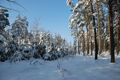 White forest Royalty Free Stock Photography