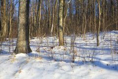 White forest. Forest in Virginia after a winter storm has hit royalty free stock photo