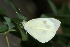 White forest butterfly Stock Image