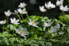 White forest flowers close up. Anemone in the forest Royalty Free Stock Images