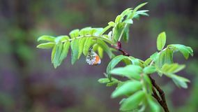 A white forest moth with pink and orange spots on its wings sits on a branch with green leaves. stock footage