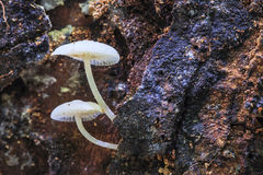 White forest mushroom Royalty Free Stock Photos