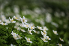 White forest springtime flowers anemones Royalty Free Stock Photo