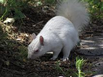 A white forest squirrel stands on the ground and looks for food. royalty free stock photography