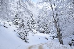White forest in winter. Going from Cheia - Valea Berii to Ciucaş Chalet Royalty Free Stock Image