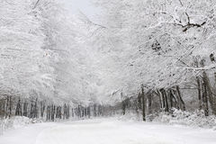 White forest in winter season. Group of white trees and road in winter season Royalty Free Stock Photos