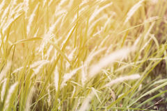 White fountain grass under warm sunlight Royalty Free Stock Photography