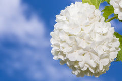 White fower Royalty Free Stock Photography